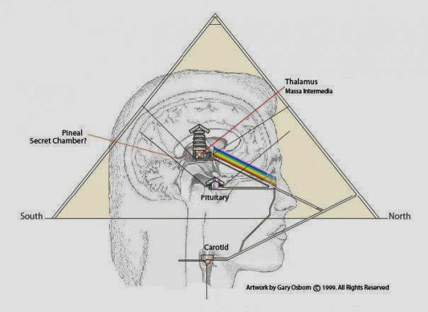 Image result for PHOTO RECEPTOR LAYER IN PINEAL GLAND diagram