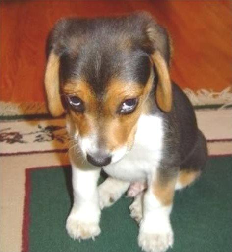 beagle empath