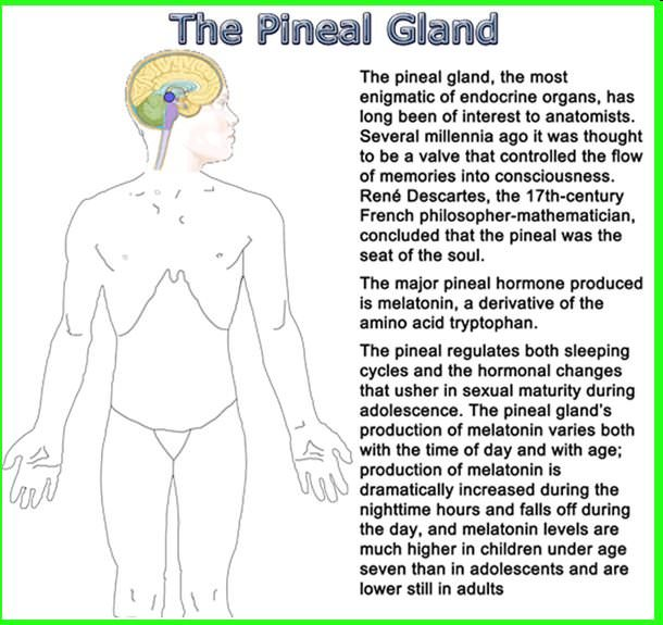 pineal gland melatonin